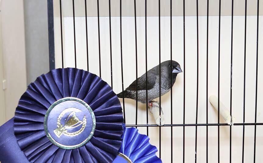 Northwest Bengalese Finches 2017 AviaryAd